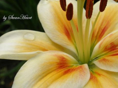 Lilium by 8SwanHeart8