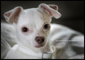 Creepy Chihuahua by ScooterTheDog