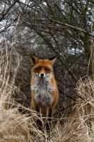Young Red Fox Stares by Kbulder
