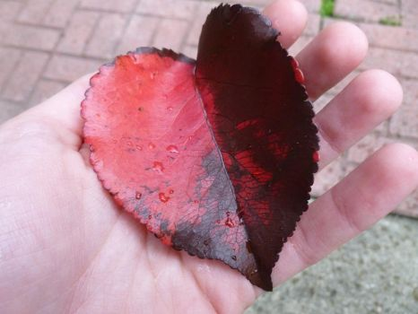 Heart-shaped leaf by newyorkbaby
