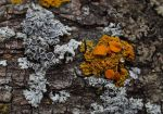 small lichen by ertstaz