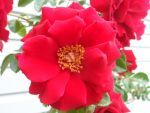 Red Rose 2 by AlisonSchofield