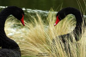 Two Black Swans by alahay