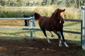RA trot front on by Chunga-Stock