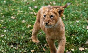 Simba the lion Cub by PictureByPali
