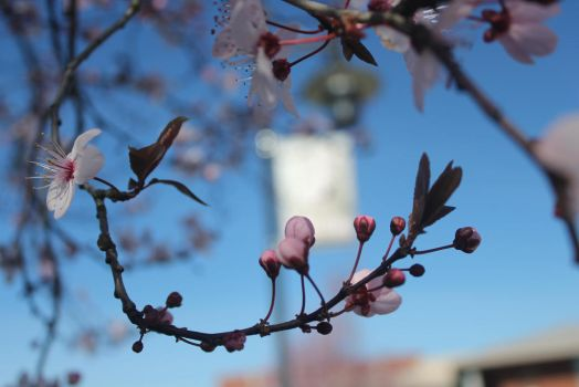 Cherry Blossoms by Blackiespots