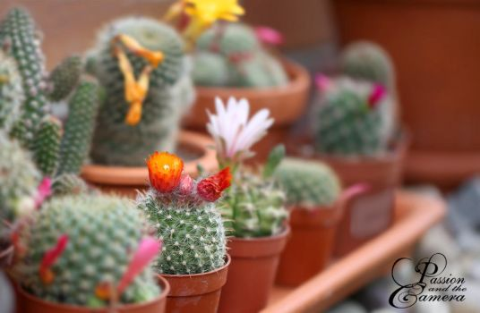 Cactus Flower Power by PassionAndTheCamera