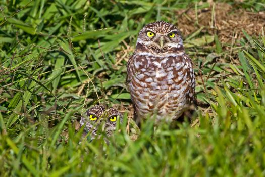 Burrowing Owls by madmoonhowl