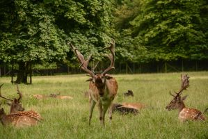 Fallow Deer Stock - Proud Buck Trying to Impress by LuDa-Stock