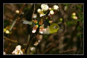 White-eye in the Park 10 by Keith-Killer