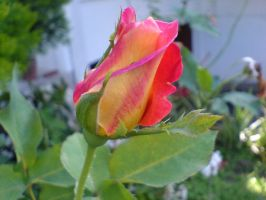 Rose of two colors.... by WhisperGps