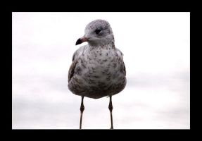 Seagull by MichelleMarie