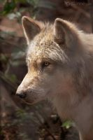 Timber Wolf by joanniegoulet