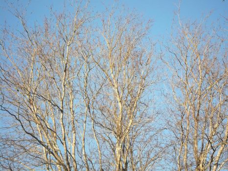 Maple Branches in the Afternoon by AlianaHawk