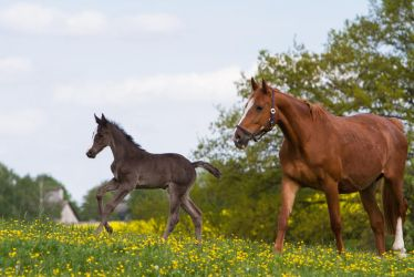 WB Foal Cantering and Broodmare Stock by LuDa-Stock