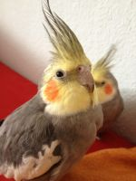 Lucy, the Cockatiel by Vampiresheep