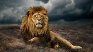 Lion by Dzimages