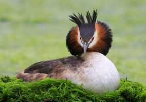 Great Crested Grebe by NurturingNaturesGift