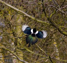Magpie catching the sun by adambrowning
