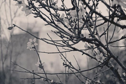 Almond Blossoms by almostkilledme