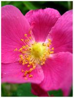 The Wild Rose of Summer by Jenna-Rose