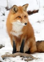 Red Fox by lost-nomad07