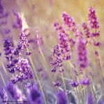 Lavender whisper by EliseEnchanted