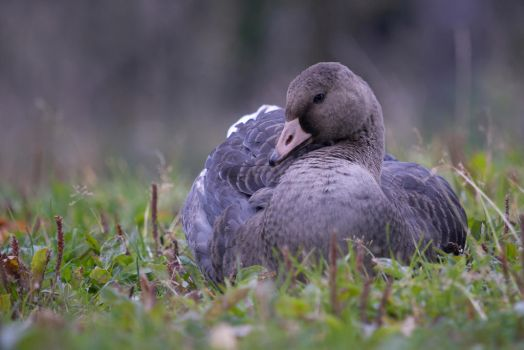 Greater White-fronted Goose by Dariaocean