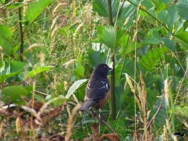 Towhee In The Grasses by wolfwings1
