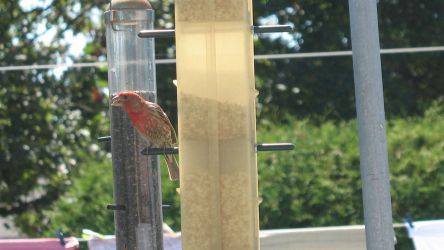 Purple Finch by avator