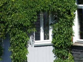 Window with wine leaves 2 by mrscats