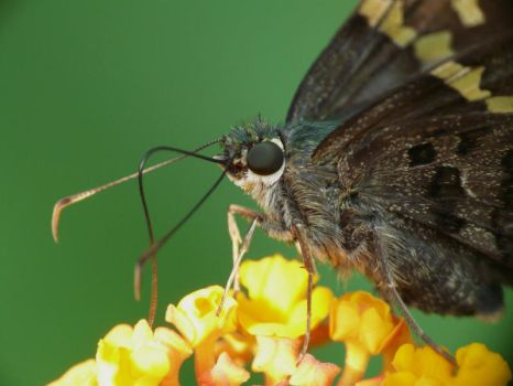 Long-tailed Skipper.,,.tongue by duggiehoo
