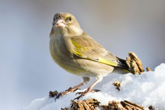 European Greenfinch by RamzisII