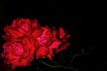 Roses in the Dark by ChristophMaier