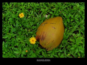 A Coconut in the Grass by Isquiesque