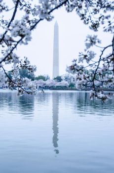 Washington Monument Blossoms by KML032