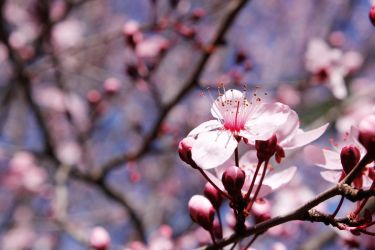 Cherry Blossom by limeeleen