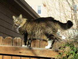 Cat on a Fence Stock by mshellee