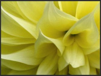 Yellow Dahlia Details by TruemarkPhotography