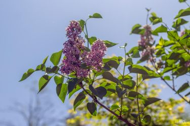 Common lilac by THEAESTHETICWEEB