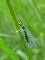 LACEWING by Iris-cup