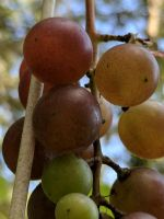 Some grapes by Naturevulpex