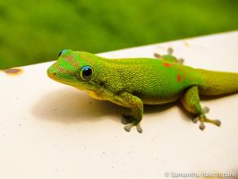 Gold dust day gecko 15 by kitty974