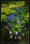 Columbia Gorge Wildflowers by aFeinPhoto-com