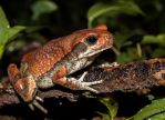 Red Toad by PhilippeduPreez