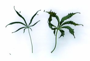 Cannabis Leaves Dried by transmitdistort