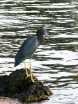 BlueHeron by ecfield