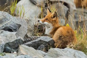 Young red fox by PurpleShallots