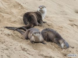 Wild otters playing in the sand by jaffa-tamarin