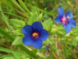 Blue Pimpernel by Paul774